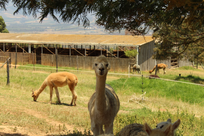 alpaca13