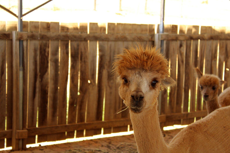 alpaca16