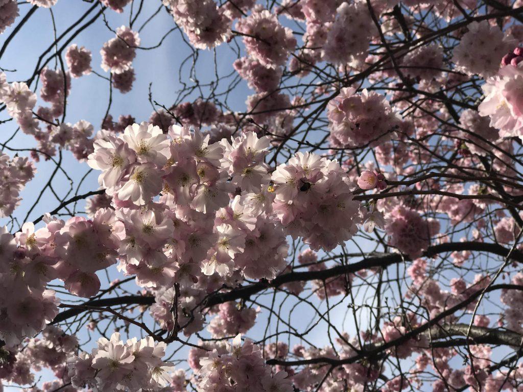 Kirschblüten auf dem Cimetière du Père-Lachaise
